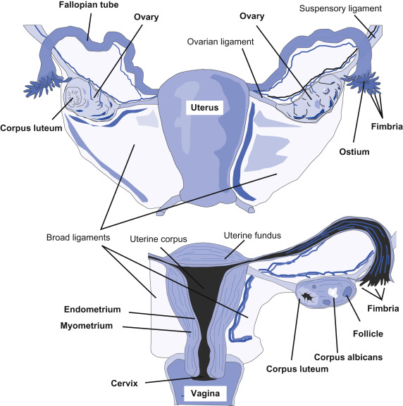 Labia Minora An Overview Sciencedirect Topics