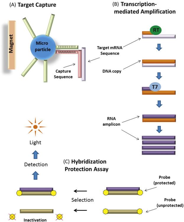 papillomavirus virus trae 45)