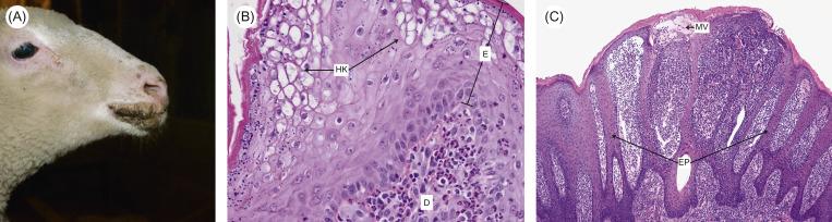 Parapoxvirus - an overview | ScienceDirect Topics