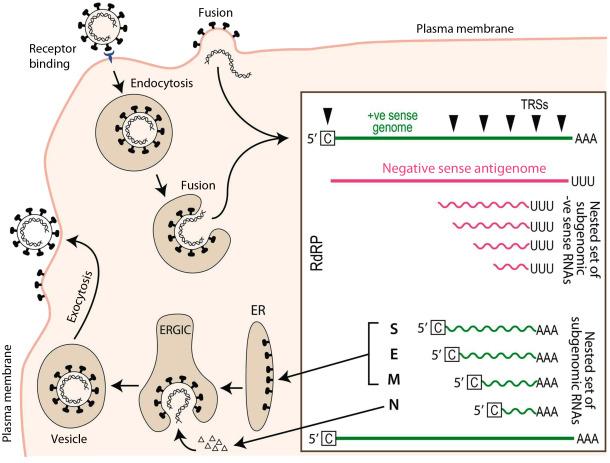 Gammacoronavirus An Overview Sciencedirect Topics