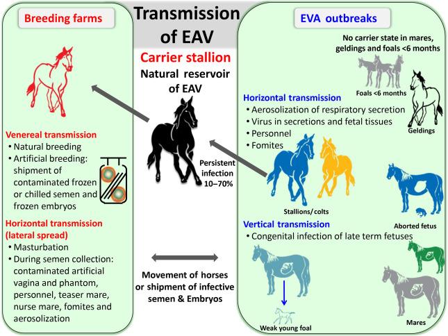 Equine Viral Arteritis - an overview   ScienceDirect Topics