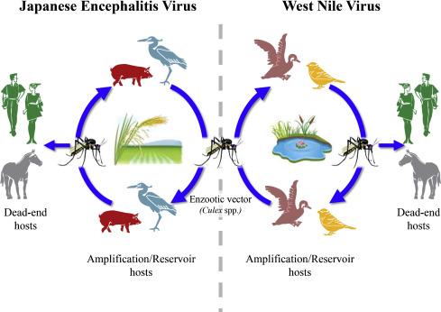 Japanese Encephalitis Virus - an overview | ScienceDirect Topics