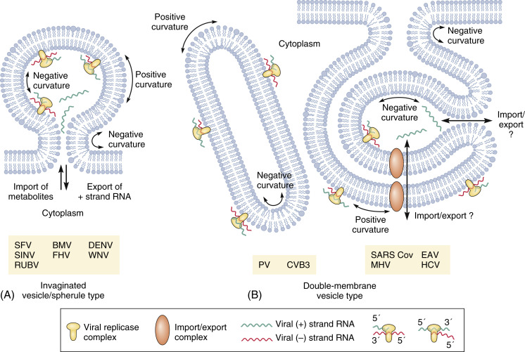 RNA Replication - an overview | ScienceDirect Topics