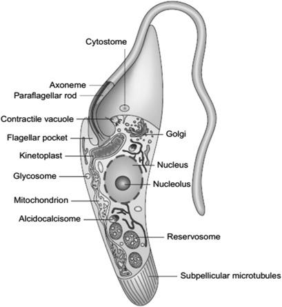 trypanosoma gambiense host