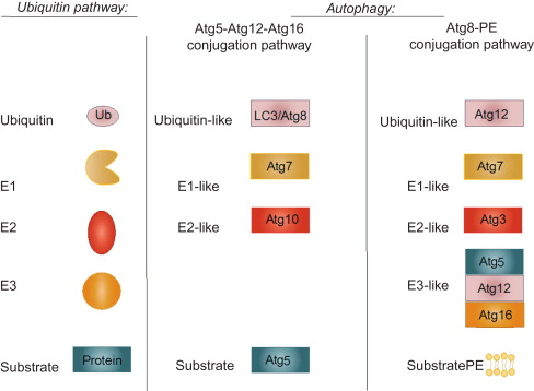 Apoptosis and Autophagy: The Yin–Yang of Homeostasis in Cell Death
