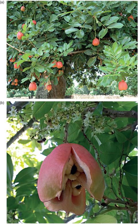 4 Ackee Seeds Jamaica Akee Seeds Blighia Sapida Jamaican Natural Fresh