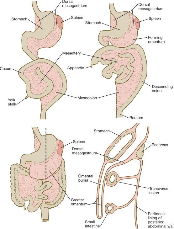 Ventral Mesentery An Overview Sciencedirect Topics