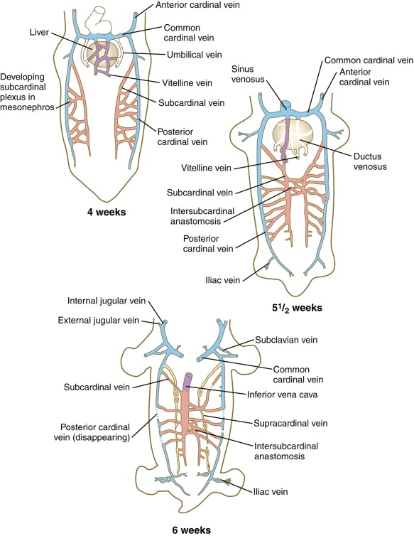 Common Cardinal Veins An Overview Sciencedirect Topics