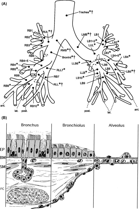 Lung Structure An Overview Sciencedirect Topics