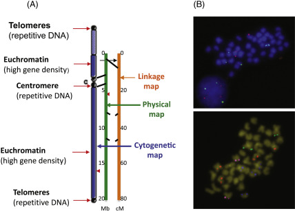 Gene Map - an overview   ScienceDirect Topics Chromosome Gene Map on cancer gene map, genome gene map, dna gene map, fruit fly gene map, crossover gene map, omim gene map, simple gene map, gene concept map, genetic map, hybrid gene map, human gene map,