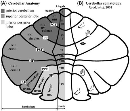 Cerebellum And Writing