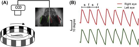 Functional Regeneration and Remyelination in the Zebrafish