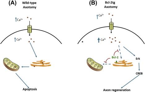 2 Bcl Regulation Of Calcium Signaling To Promote Axon Regeneration