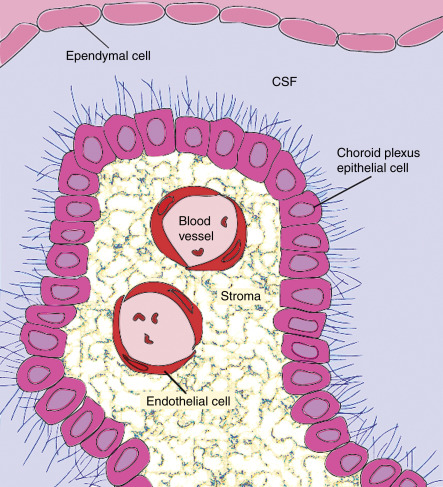 Choroid Plexus Structure And Function Sciencedirect