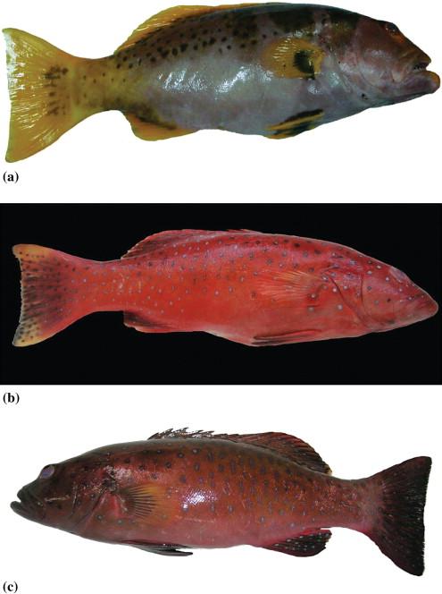 Molecular Taxonomy Of Serranidae Subfamily Epinephelinae Genus