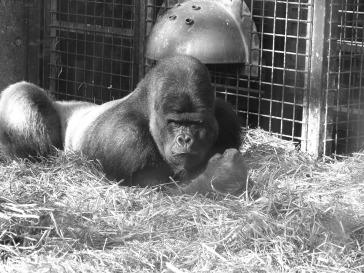 Gorilla Beringei - an overview | ScienceDirect Topics