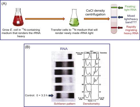 3 s2.0 B9780128020746000096 f09 04 9780128020746 ribosomal rna an overview sciencedirect topics