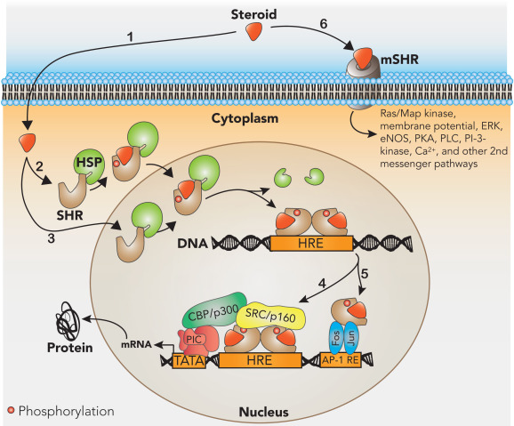 Steroid signalling involves sp pharmaceuticals steroids