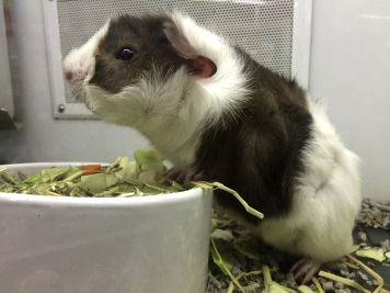 Guinea Pig - an overview | ScienceDirect Topics