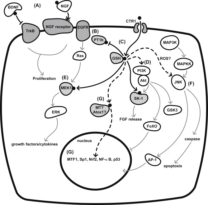 Copper And Molecular Aspects Of Cell Signaling
