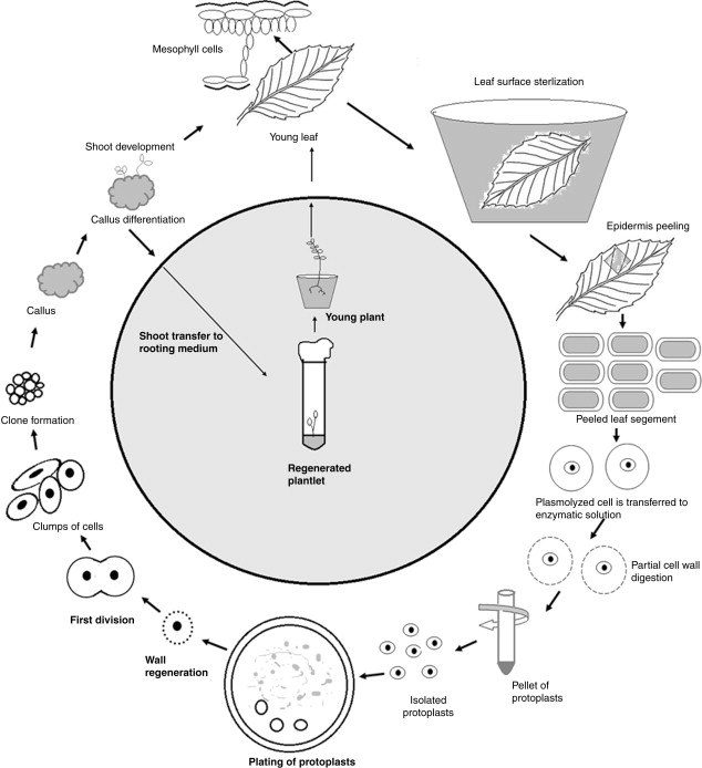 Protoplast Culture - an overview | ScienceDirect Topics