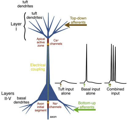 Basal Dendrite - an overview | ScienceDirect Topics