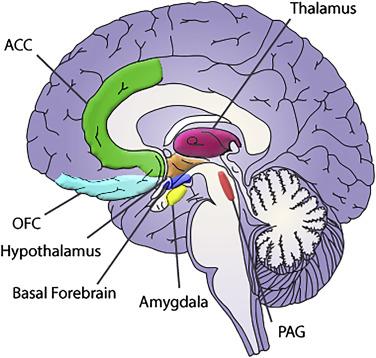 The Emotional Brain - ScienceDirect