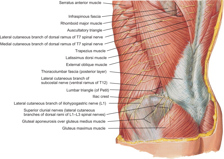 Posterior Ramus Of Spinal Nerve An Overview Sciencedirect Topics
