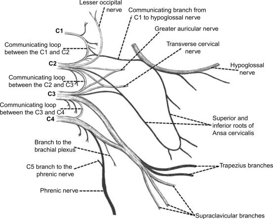 Lesser Occipital Nerve