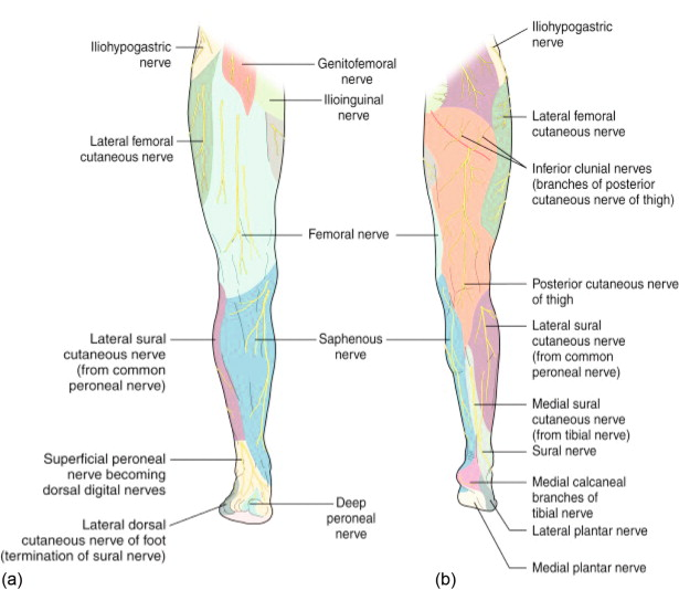 Nerve Compression/Entrapment Sites of the Lower Limb - ScienceDirect