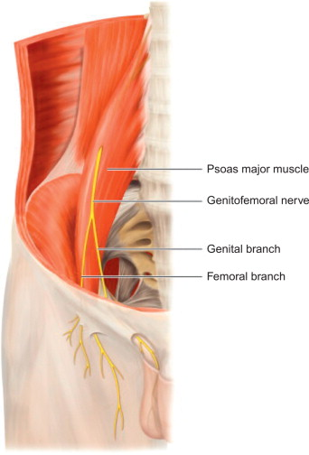 Genitofemoral Nerve - an overview | ScienceDirect Topics
