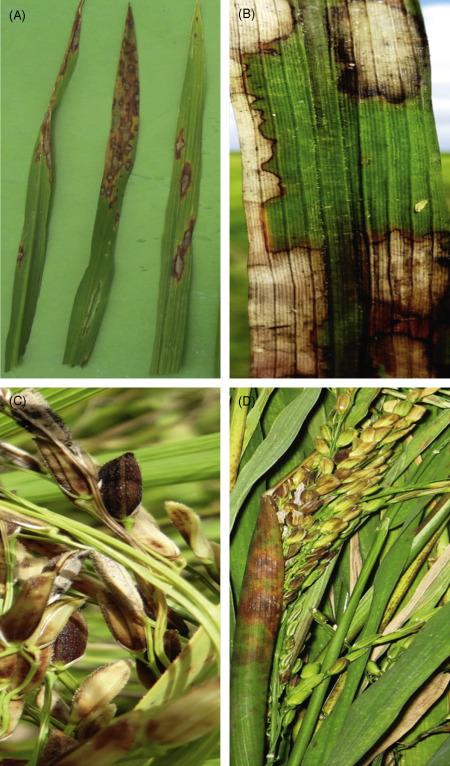 helminthosporium oryzae en arroz