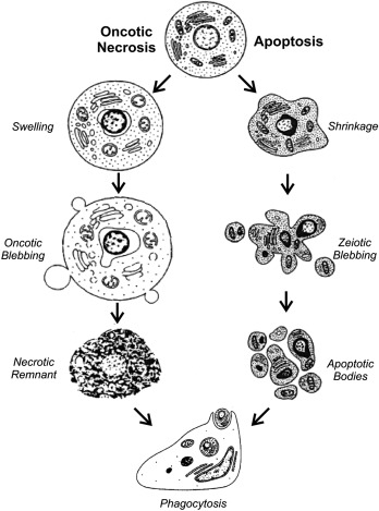 Molecular Mechanisms Of Cell Death