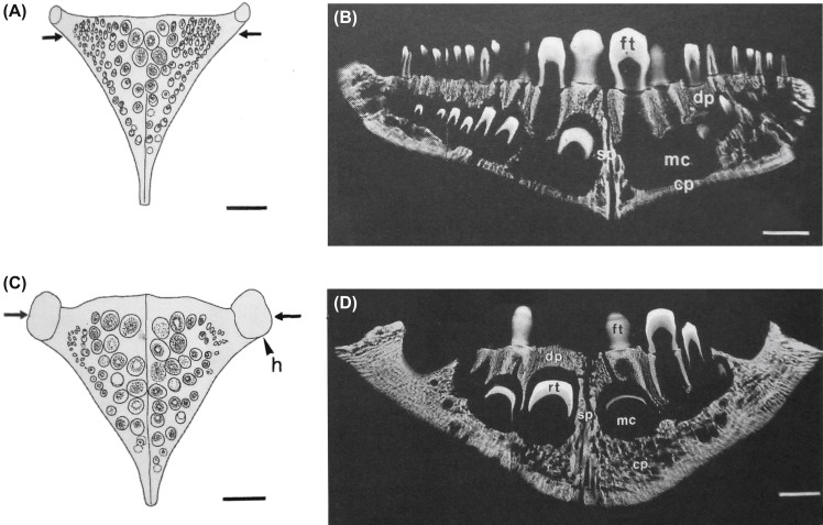 Cichlasoma - an overview   ScienceDirect Topics