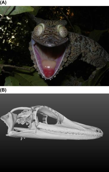 Gekkonidae - an overview | ScienceDirect Topics