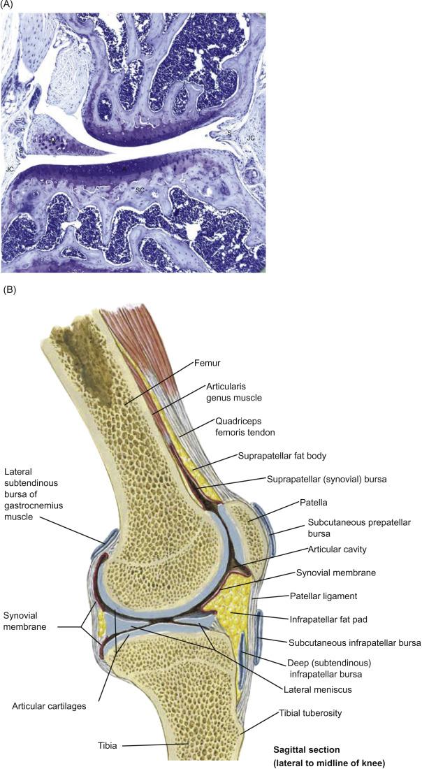 Skeletal System - ScienceDirect