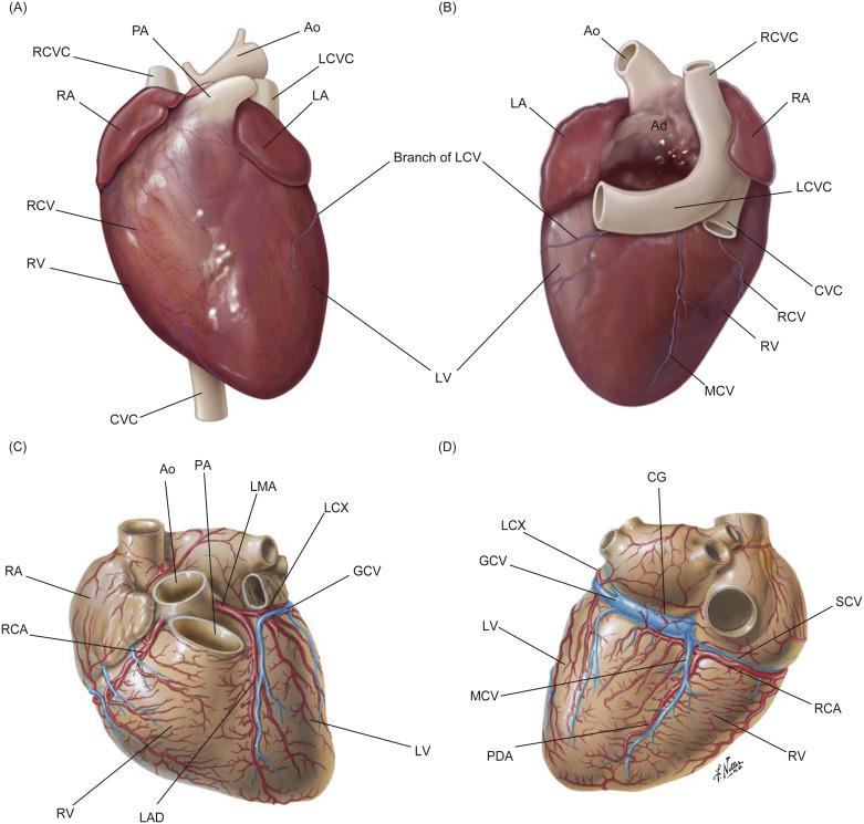 Cardiac Skeleton An Overview Sciencedirect Topics