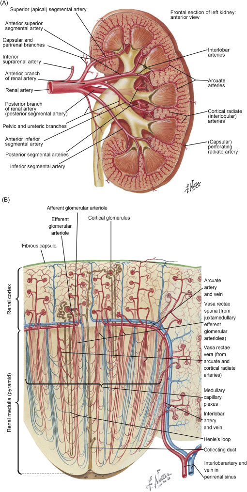 Renal Capsule An Overview Sciencedirect Topics