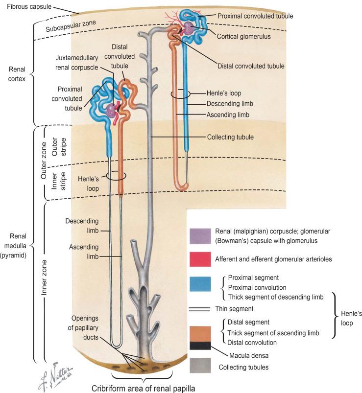 Diagram Of Nephron W Key | Repair Manual