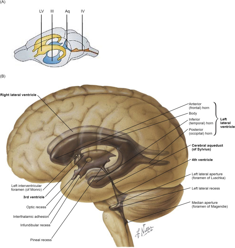 Sexually dimorphic somatic structures and neural brain circuits are most prominently involved in