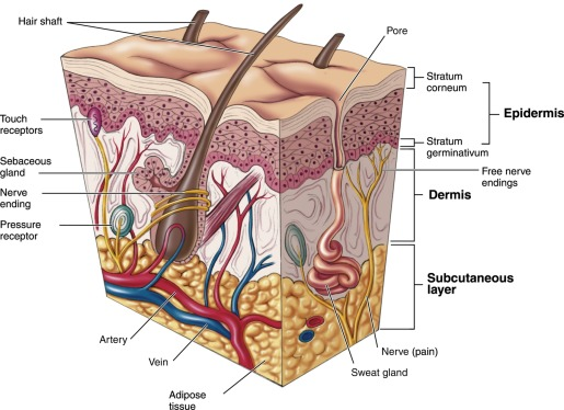 3 s2.0 B9780128029244000025 f02 02 9780128029244 integumentary system an overview sciencedirect topics