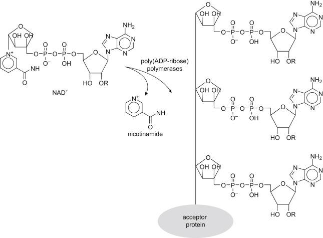 Adp Ribosylation