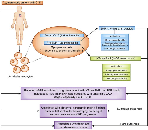 Brain Natriuretic Peptide - an overview | ScienceDirect Topics