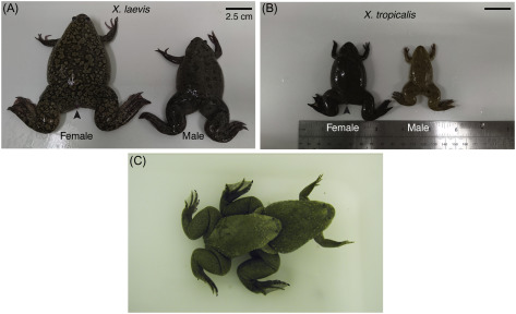 Xenopus As A Model Organism For Biomedical Research