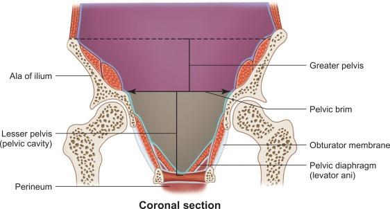 Musculoskeletal Pelvic Anatomy Sciencedirect