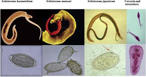 hepatitis c schistosomiasis torok papillomavírus