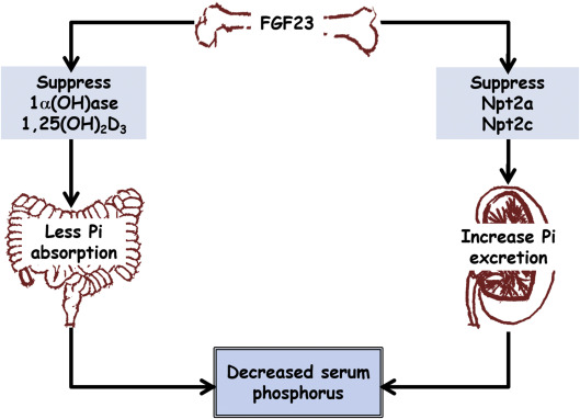 fibroblast growth factor 23 an overview sciencedirect topics