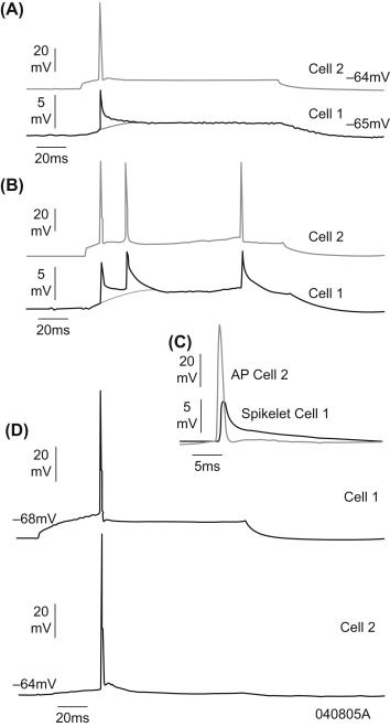 Gap Junctions Between Pyramidal Cells Account for a Variety of Very on