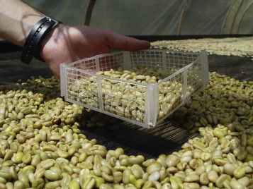 Postharvest Processing—Revealing the Green Bean - ScienceDirect
