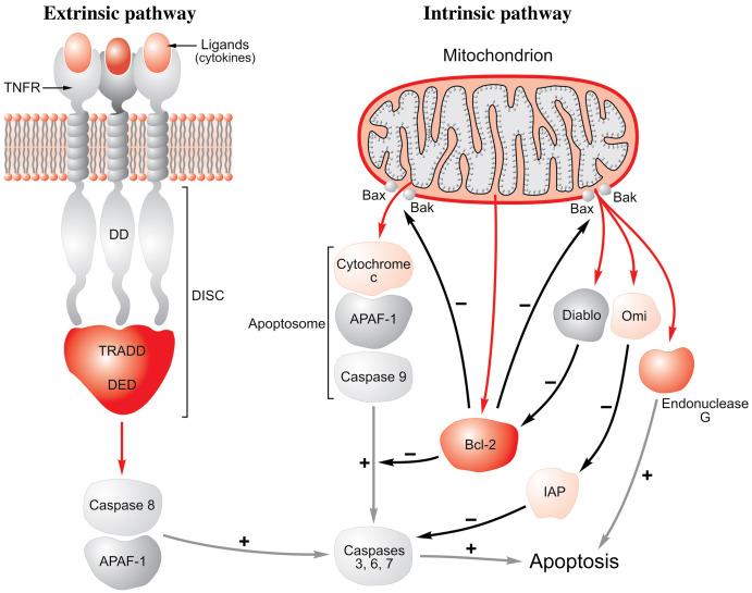 Apoptosis - an overview | ScienceDirect Topics